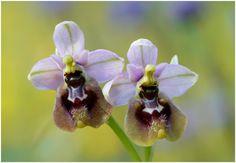 Ophrys tenthredinifera - Flickr - Photo Sharing!