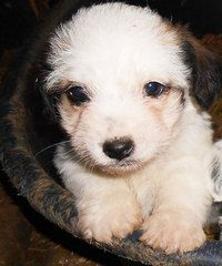 Jack Russell x Bichon Frise Pups FOR SALE at Pets FREE Classifieds