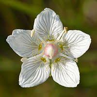 Vilukko - Slåtterblomma - Marsh grass of Parnassus White Gardens, Nautical Theme, Botany, Planting Flowers, Flower Arrangements, Beautiful Flowers, Vines, Grass, Red And White