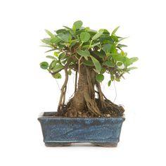 Bonsai - Ficus Panda