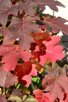 Late Autumn in Central Pennslyvania: Hydrangea quercifolia 'Alice'   Fine Gardening