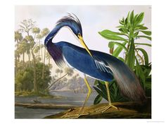"""Louisiana Heron from """"Birds of America"""" Giclee Print at AllPosters.com"""