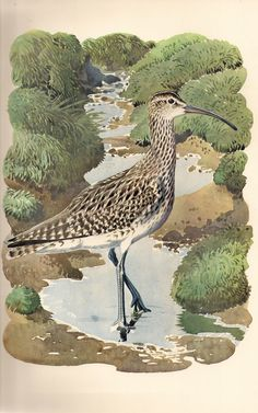 Whimbrel I Charles Tunnicliffe Wildlife Paintings, Wildlife Art, Nature Artists, Bird Artists, Bird Artwork, Shorebirds, Classic Paintings, Royal College Of Art, Animal Sketches