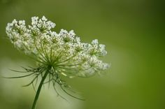 #corolla #field #fleurs des champs #flower #france #green #nature #prairie #pre #summer #white flower