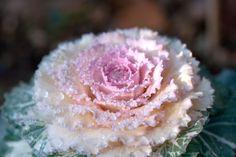 El cultivo de las coles ornamentales, planta ideal para el otoño y sobre todo para el invierno...
