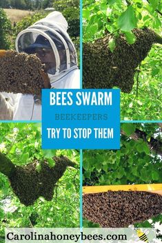 Why do honey bees swarm? Is a bee swarm dangerous? What should I do if I see a bee swarm? Find out. Carolina Honeybees #beekeeping