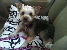 Suzie 1 year old yorkie .. Her first haircut!! | Yelp