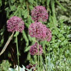 Allium giganteum - Border & Front Yard