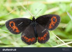 Find Closeup Black Butterfly Red Spots Laying stock images in HD and millions of other royalty-free stock photos, illustrations and vectors in the Shutterstock collection. Thousands of new, high-quality pictures added every day. New Pictures, Royalty Free Photos, Close Up, Grass, Insects, Photo Editing, Butterfly, Illustration, Artist