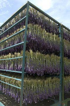 Furano Lavender by davegolden, via Flickr