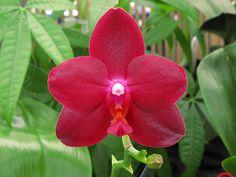 Moth-orchid: Phalaenopsis 'Sogo Grape'