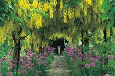 """Бобовник (Laburnum),""""Золотой дождь"""". Цветёт в мае-июне, отличное будет смотреться самостоятельно и рядом с другими культурами. В высоту достигает 7 метров, а его диаметр - до 4 метров. Любит солнце,к почве неприхотлив, обрезать это растение не требуется. Красивы не только цветы, но и листья. Однако растение считается ядовитым, особенно сконцентрированы вредные вещества в семенах. Ветки растения довольно хрупкие и могут сломаться даже от тяжести снега."""