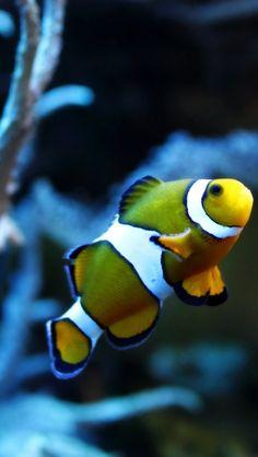 fish. Exotic, Underwater, Fish, Goldfish, Macro