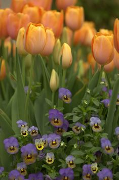 tulips and pansies, courtesy P Allen Smith