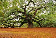 500 Year old Angel Oak Tree in South Carolina