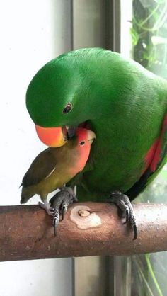 .... too cute - Birdie buddies. An Eclectus and a Love Bird, maybe?