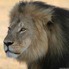 Lion k
