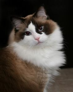 Ragdoll Cat--catbreedsblog.com--So sweet! They actually go limp in your arms...