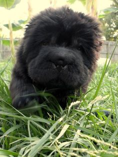 cute little furry shar pei Shar Pei Puppies, Cute Puppies, Dogs And Puppies, Shar Pei Mix, Poodle Puppies, Cute Dogs Breeds, Dog Breeds, Bear Coat Shar Pei, Chinese Dog