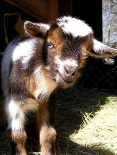 Raising Nigerian Dwarf goats for milk has become increasingly popular among small farmers. These little goats are excellent milkers and easier to handle than most breeds. Farm Animals, Animals And Pets, Cute Animals, Lamas, Goat Care, Raising Goats, Raising Chickens, Nigerian Dwarf Goats, Cute Goats
