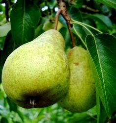 fruit trees that grow best in  texas