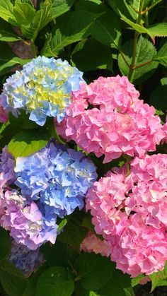 Flower Garden, Summer Flowers Garden, Beautiful Flowers Garden, Beautiful Flowers, Beautiful Hydrangeas, Love Flowers, Trees To Plant, Blooming Succulents, Flower Seeds