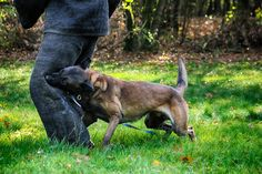 Great full mouth leg bite Malinois Puppies For Sale, Belgian Malinois Puppies, Wolfsbane, Dogs For Sale, Hyde, Animals, Doggies, Animales, Animaux