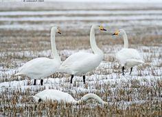 Laulujoutsenet pellolla - joutsen laulujoutsen Cygnus cygnus huhtikuu kevät pelto lumi  kookas luonnonvarainen Suomen kansallislintu sänkipelto iso lintu valkoinen Bird Houses, Finland, Iso, Birds, Swans, Nature, Wildlife, Animals, Spring