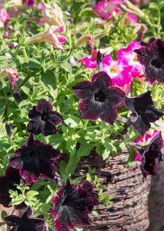 Kesäkukkien myötä kesä saapuu parvekkeelle, terassille ja puutarhaan. Ihanat kesäkukat kukkivat koko kesän, kun hoito on säännöllistä ja oikeaa.