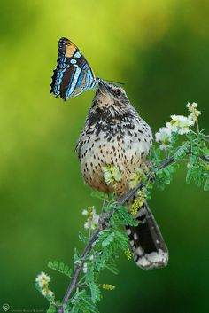 A cactus wren holding a butterfly  - by Rebecca Jackrel