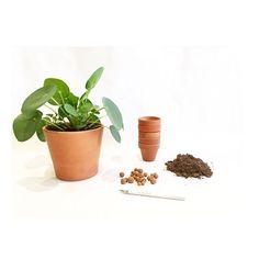 Le pilea appel aussi plante monnaie chinoise for Recherche sur les plantes vertes