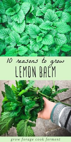 Lemon balm is an awesome herb with numerous benefits! Here are 10 great reasons to grow lemon balm for your garden, your health, and delicious food and drinks! garden 10 Reasons to Grow Lemon Balm Healing Herbs, Medicinal Plants, Holistic Healing, Gardening For Beginners, Gardening Tips, Gardening Services, Gardening Courses, Gardening Supplies, Culture D'herbes