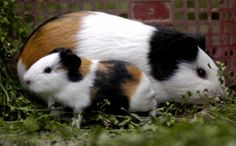 a baby guinea-pig rests beside its mom!!