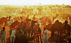 Continuing with the #festivals, today we will talk about a unique festivals. A festival where camels are traded, where cultural performances are galore, where old world charm is redefined, and where animal beauty pageants are held. Yes, we are talking about the #Pushkarfair. And if you are a shutterbug then the picture below will say it all.