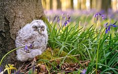 A young owl (wild) shelters amongst the bluebells in Micheldever Woods, Hampshire, for its mother to return