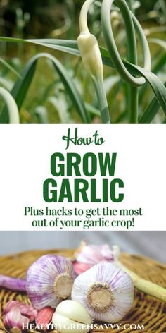 Gardening Tips Home-grown garlic an easy, fun, and economical crop. How to plant and harvest garlic bulbs, shoots, and scapes for great cooking and better health. Backyard Vegetable Gardens, Backyard Farming, Fruit Garden, Growing Herbs, Growing Vegetables, Home Grown Vegetables, Veggies, Gardening For Beginners, Gardening Tips