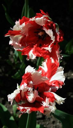 ~Candy Cane Tulips