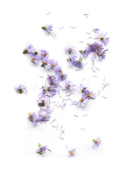 aster blossoms (mary jo hoffman)