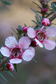 *AUSTRALIA ~ Pink Tea Tree (Leptospermumm scoparium) Native to New Zealand and southeast Australia. A usually compact shrub to high (often less) to wide. Australian Wildflowers, Australian Native Flowers, Australian Plants, Unusual Flowers, Pink Flowers, Beautiful Flowers, Pink Peonies, Yellow Roses, Fresh Flowers