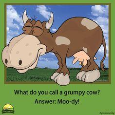 #grumpycow #cow