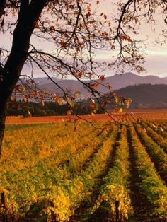 Autumn at Sterling Vineyards, Calistoga, Napa Valley, USA Photographic Print by Wes Walker at Art.com