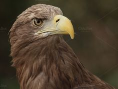 European eagle by De todo un poco on Creative Market