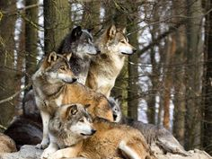 •❤ ❤• the loyal pack