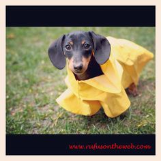 Bonus Pic. Celebrate rainy days and Mondays. http://wp.me/p27Fw1-bE #dachshund #doxies #cute