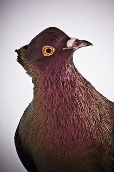 Darwin's Pigeons, in All Their Genetic Variety - Photographs - NYTimes.com