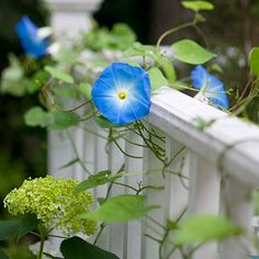 Heirloom plants, such as this blue morning glory, extend an ageless charm to the garden and look right at home among other classic features, such as the white deck railing and Annabelle hydrangeas.