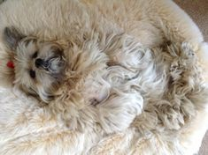 Where's woolly? Lhotse has found the ideal place for snoozing undisturbed