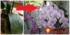Napísala nám pani Linda, ktorá sa chce podeliť o svoju skúsenosť, ako priviedla orchideu späť k životu!        Voľba bola jednoduchá, buď skúsiť spraviť zázrak, alebo orchidea chtiac nechtiac skončí v koši. Išlo o rastlinku mojej mamy, Quilling, Crown, Flowers, Plants, Garden, Bedspreads, Corona, Plant, Royal Icing Flowers