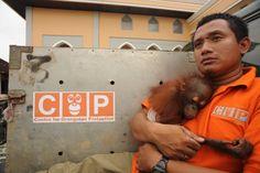 Rainforest Destruction, Save The Orangutans, Baby Orangutan, Animal Cruelty, Food Safety, Extinct, Palm Oil, Primates, My Heart Is Breaking