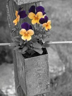 *Pansies (Touch of Color)